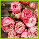 Mnohokvěté růže