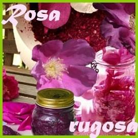 Rosa rugosa und ihre Hybriden