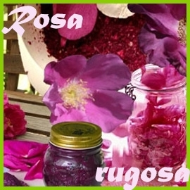 Rosa rugosa hybrids