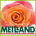 Розы из Meilland