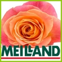 Růže z Meilland