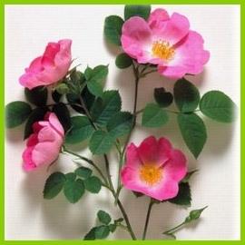 Róże naturalne, gatunki